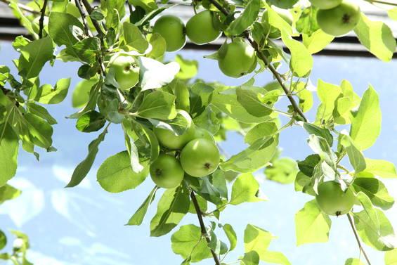 Omenapuu_1496_1.jpg